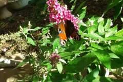 Pfauenauge-am-Schmetterlingsbluetler-09_2021