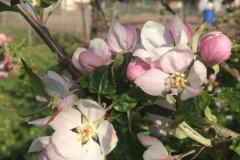 Apfel-Melrose