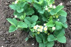 Erdbeerpflanze-im-2.Standjahr