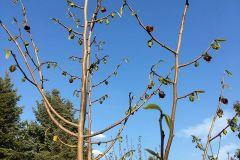 Indianer-Bananenbaum