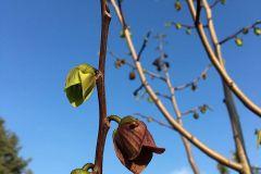Indianer-Bananenbaum2