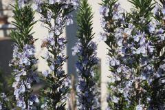 Rosmarin-mit-Bienen